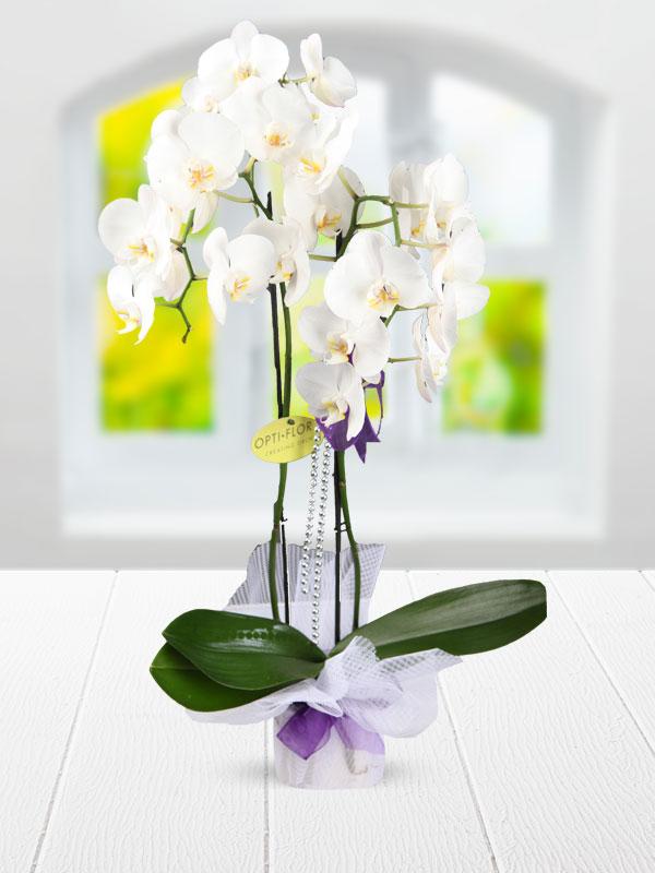 çifit dallı beyaz orkide