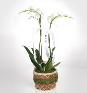 Sepette Çiftli Orkide